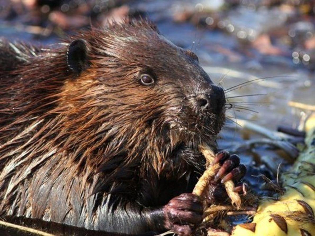 A pesar de que son torpes en tierra, los castores se deslizan en el agua con …