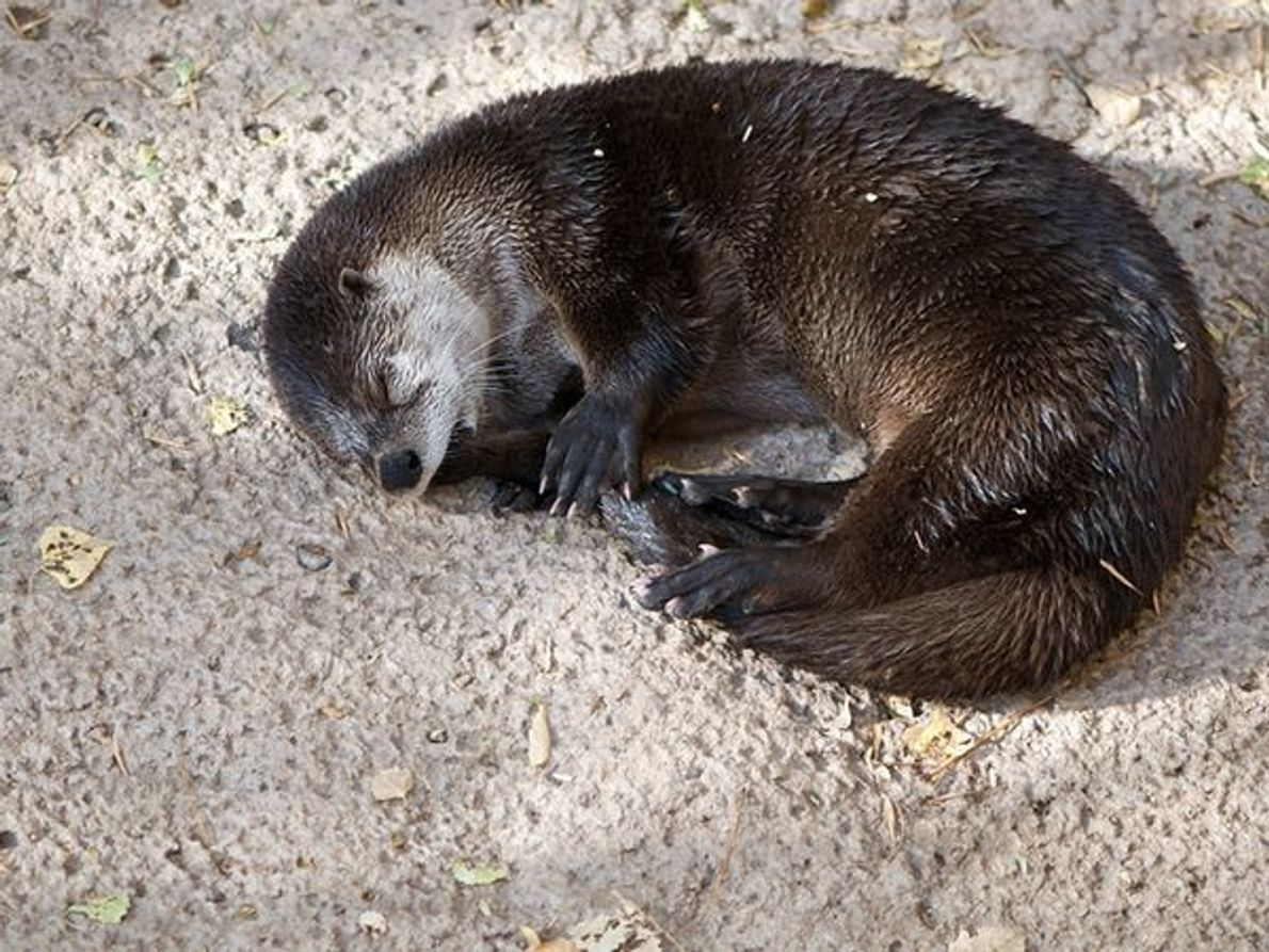 Estos mamíferos amantes del agua parecen tener el placer por deslizarse , bucear y nadar con …