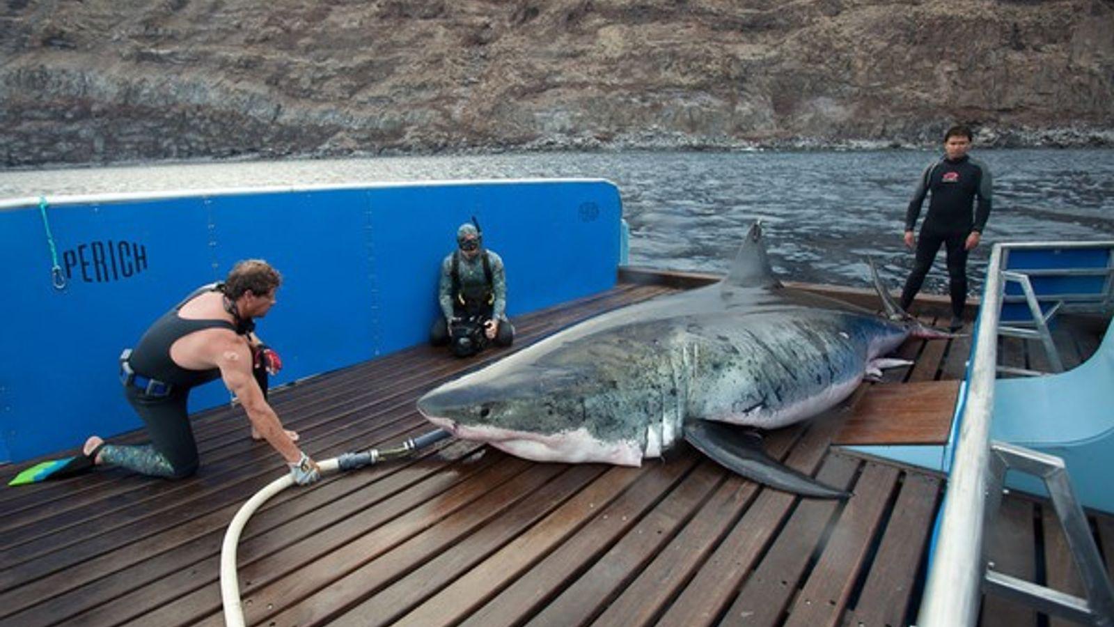 Liberado el gran tiburón blanco más grande jamás capturado