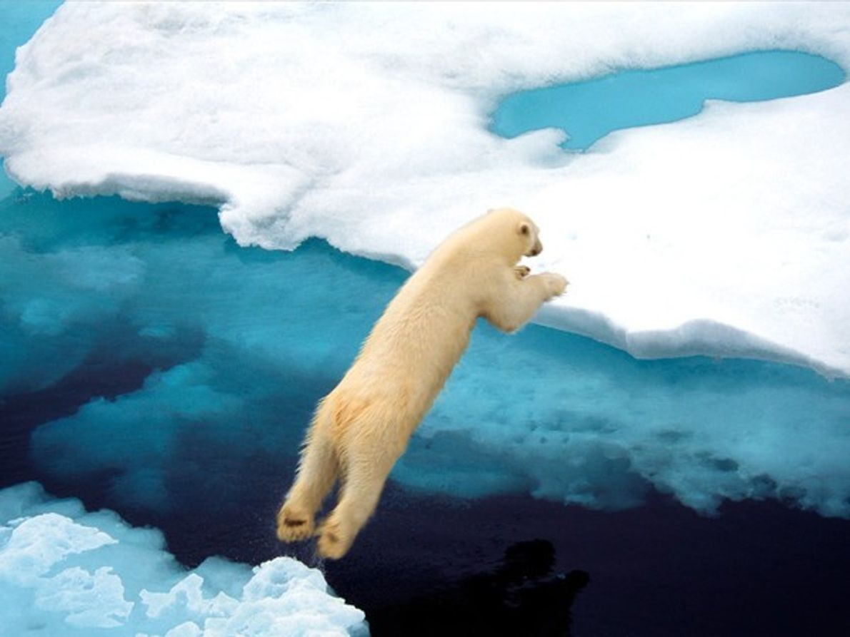 Oso polar en Svalbard