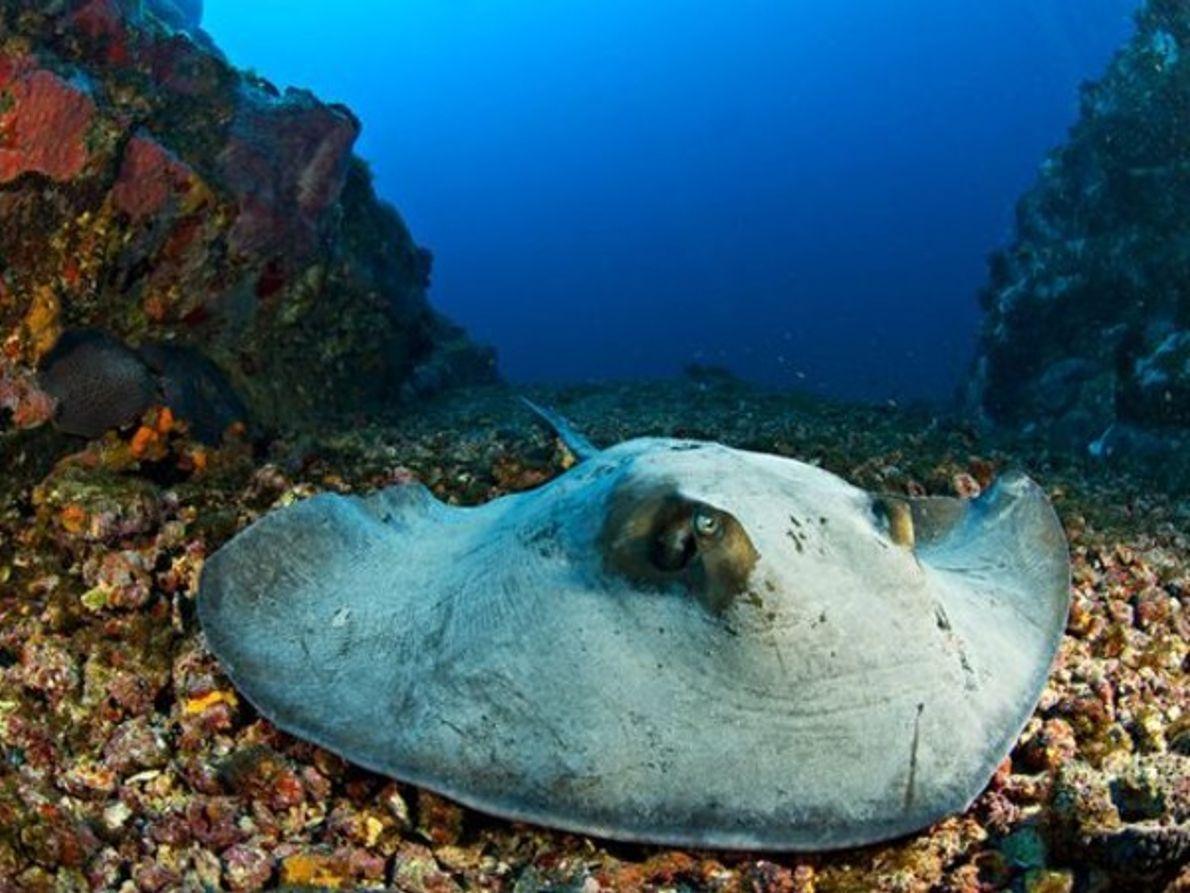 Raya en el fondo marino