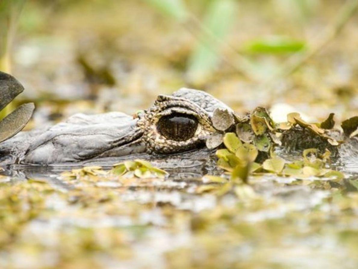 Cabeza de caimán