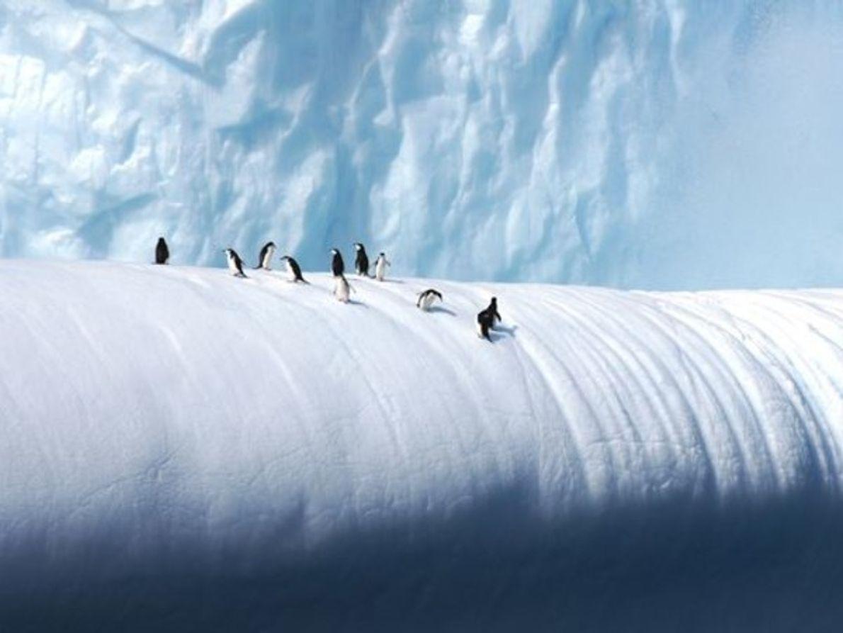 Los pingüinos de barbijo