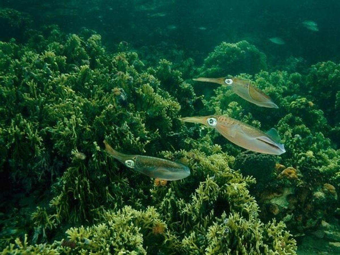Coral de fuego caribeño