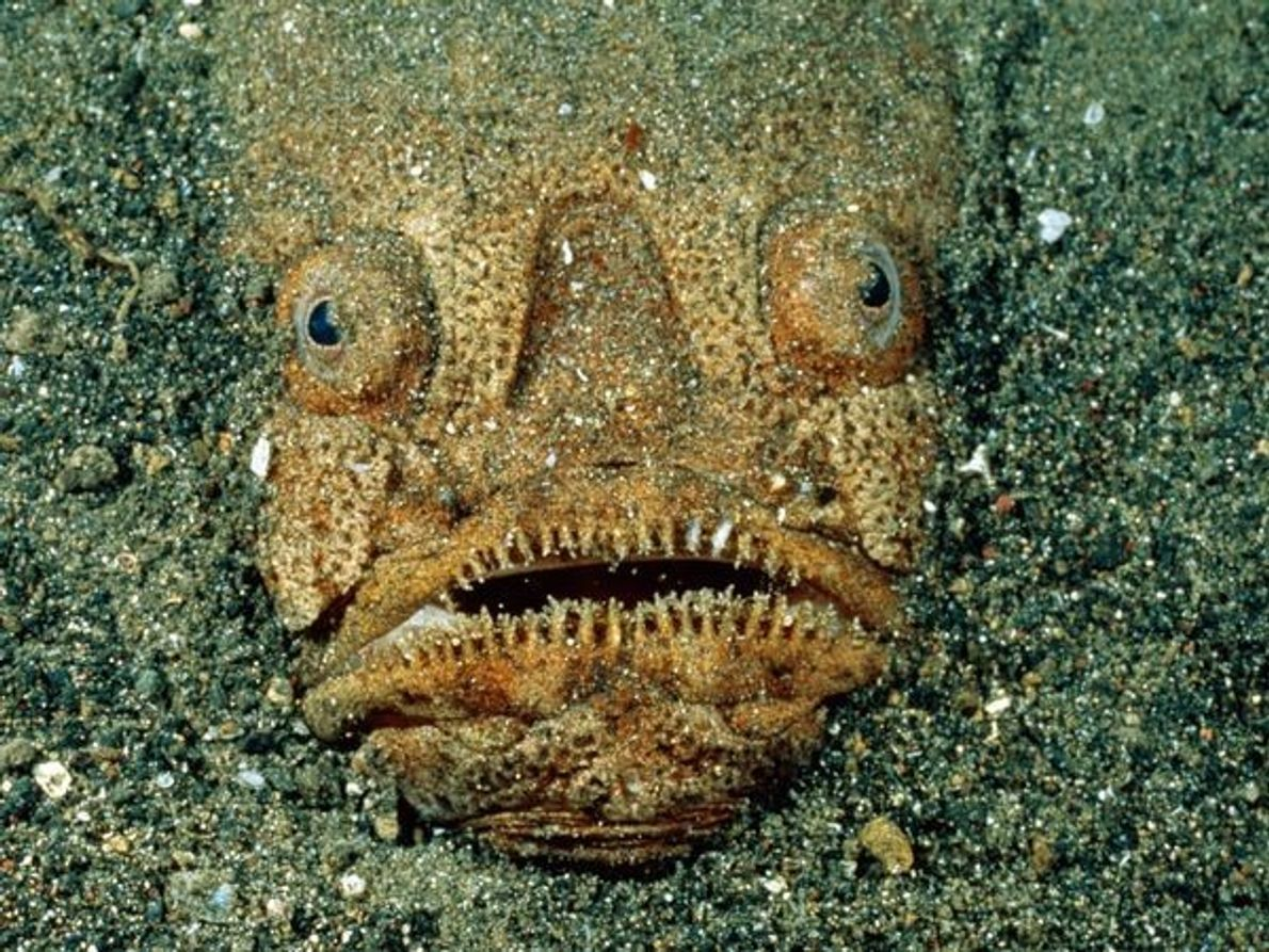 Utilizando sus aletas pectorales como palas, el pez uranoscopidae se entierra en las profundidades marinas dejando …