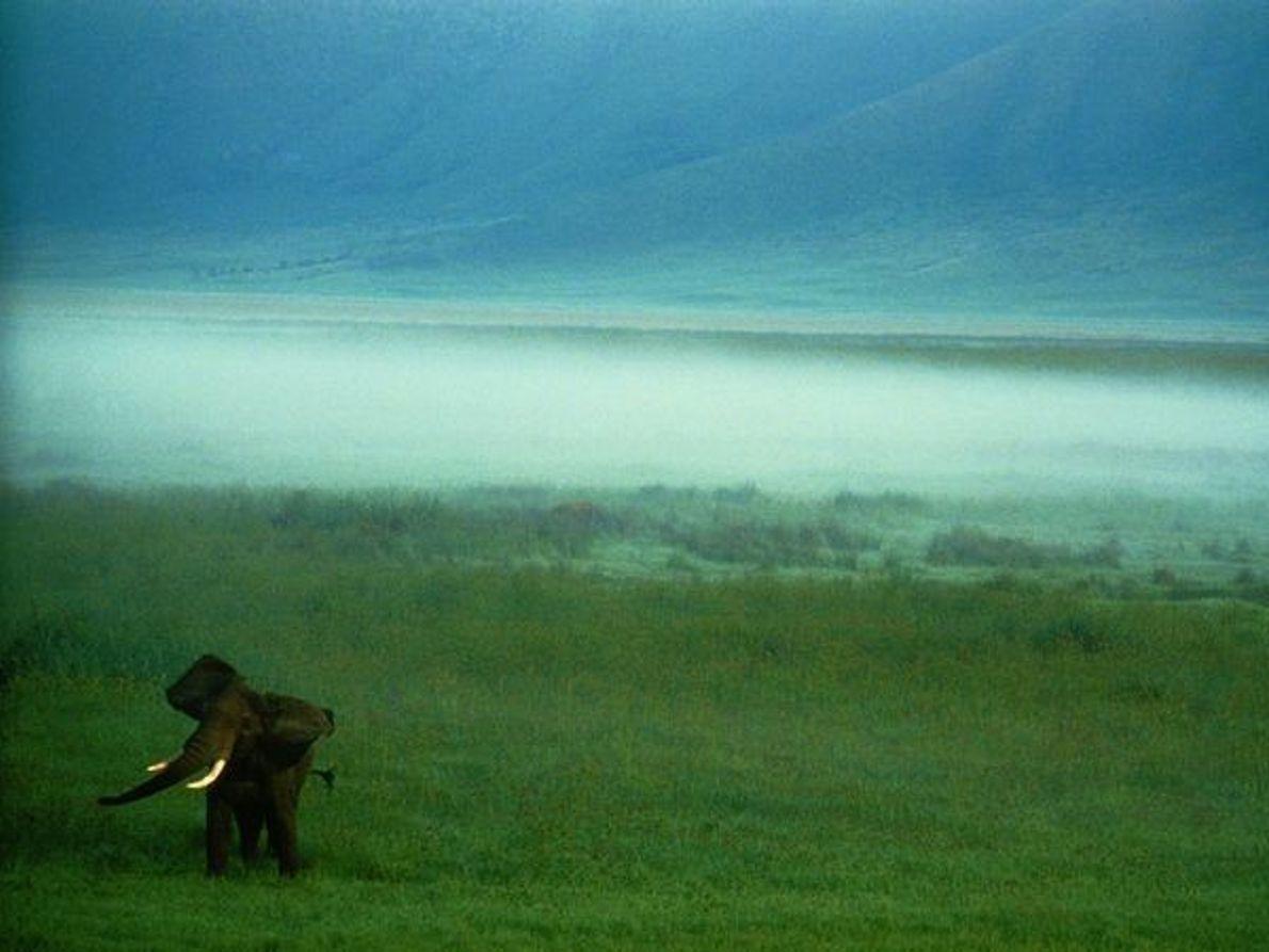 Elefante africano, Cráter Ngorongoro