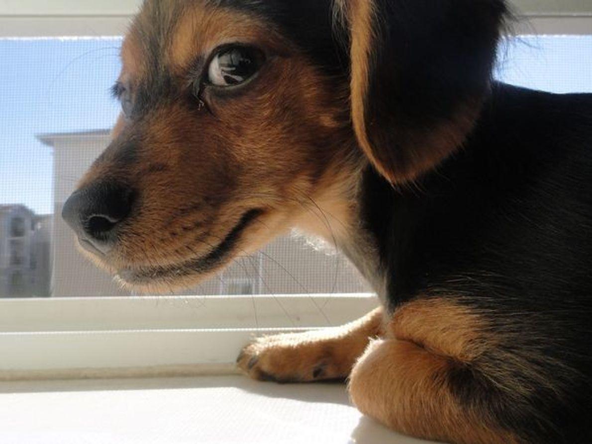 Cachorro mezcla de Chihuahua y Dachshund