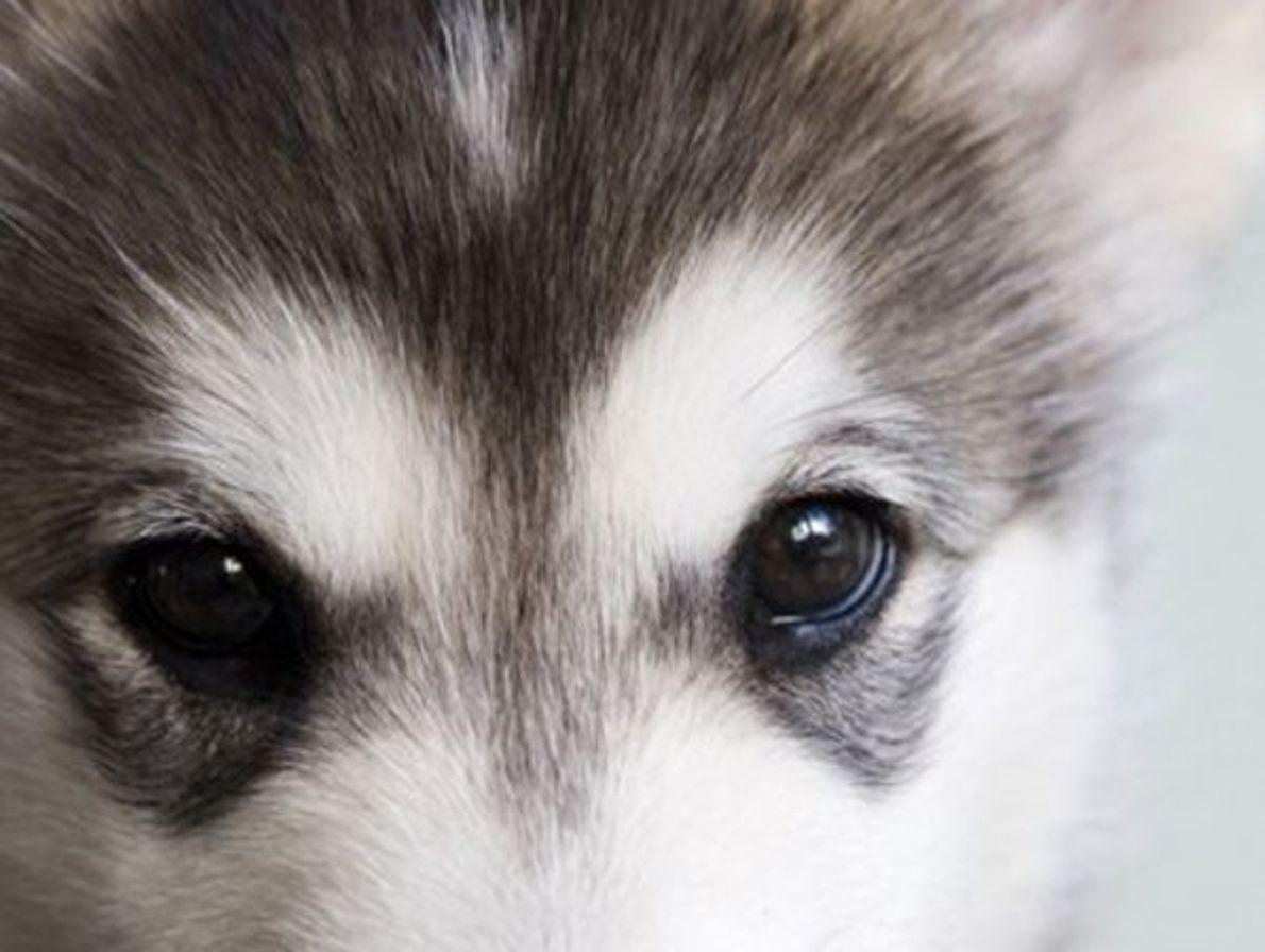 Cachorro Alaska Malamute