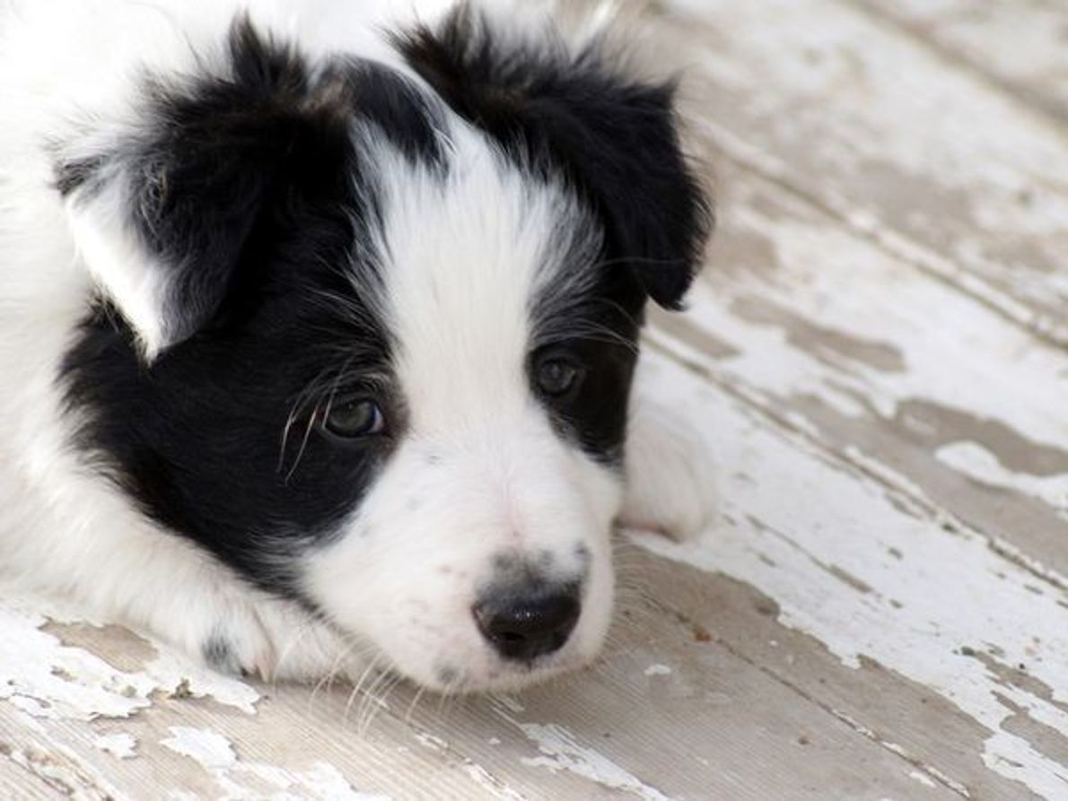 Cachorro Border Collie