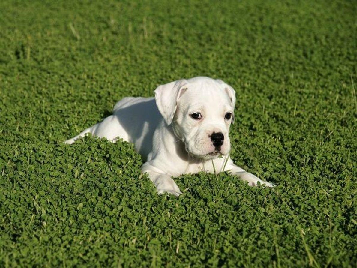 Cachorro Boxer Puppy