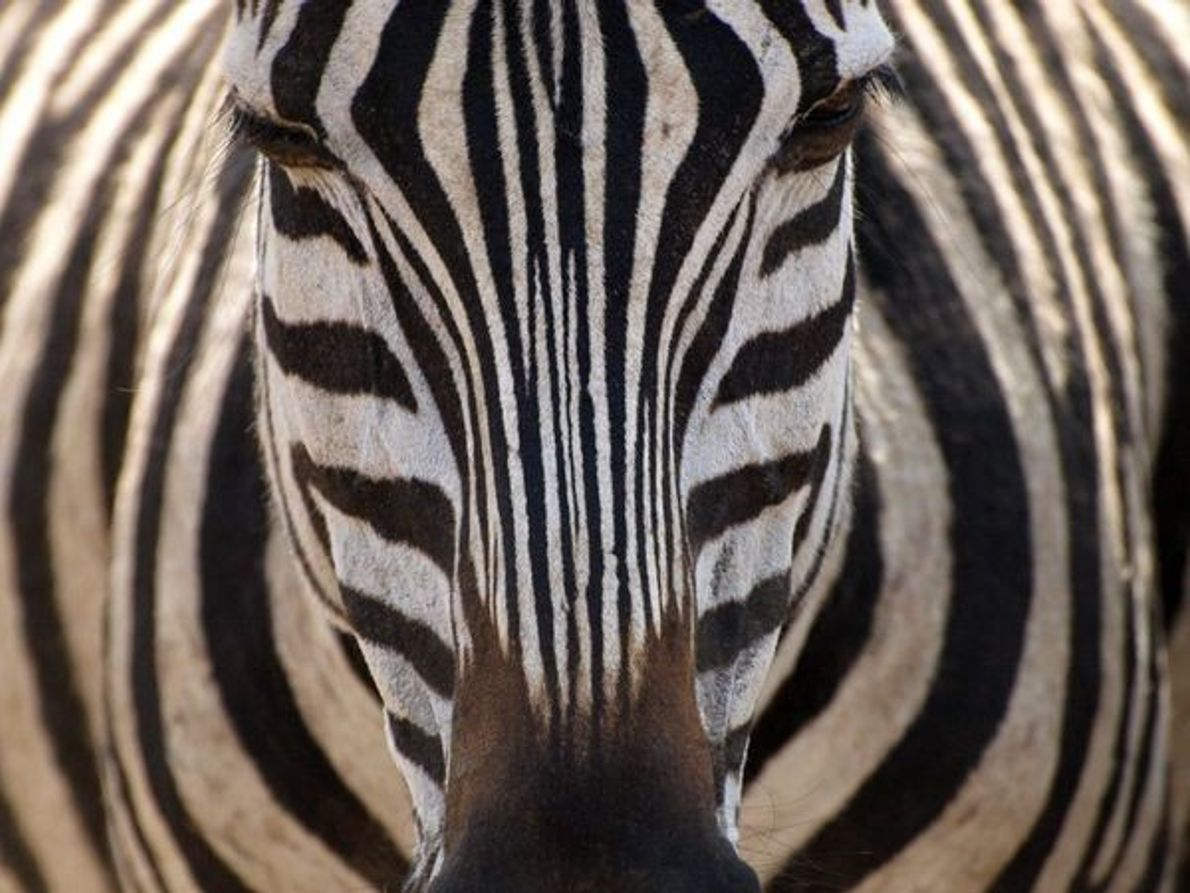 Cebra de llanura