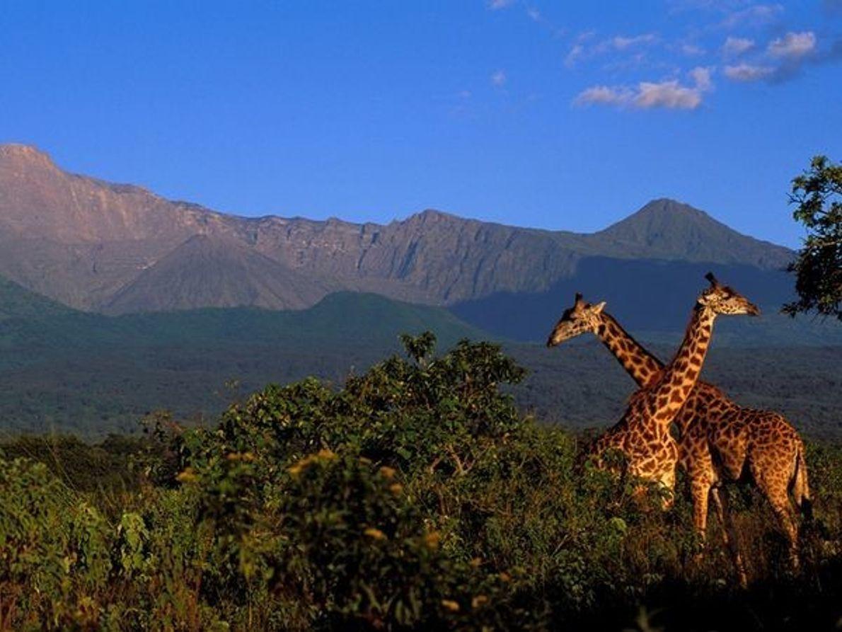 Jirafas, Parque Nacional de Arusha