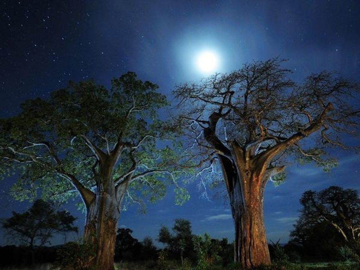Los árboles baobab, el Parque Nacional Tarangire