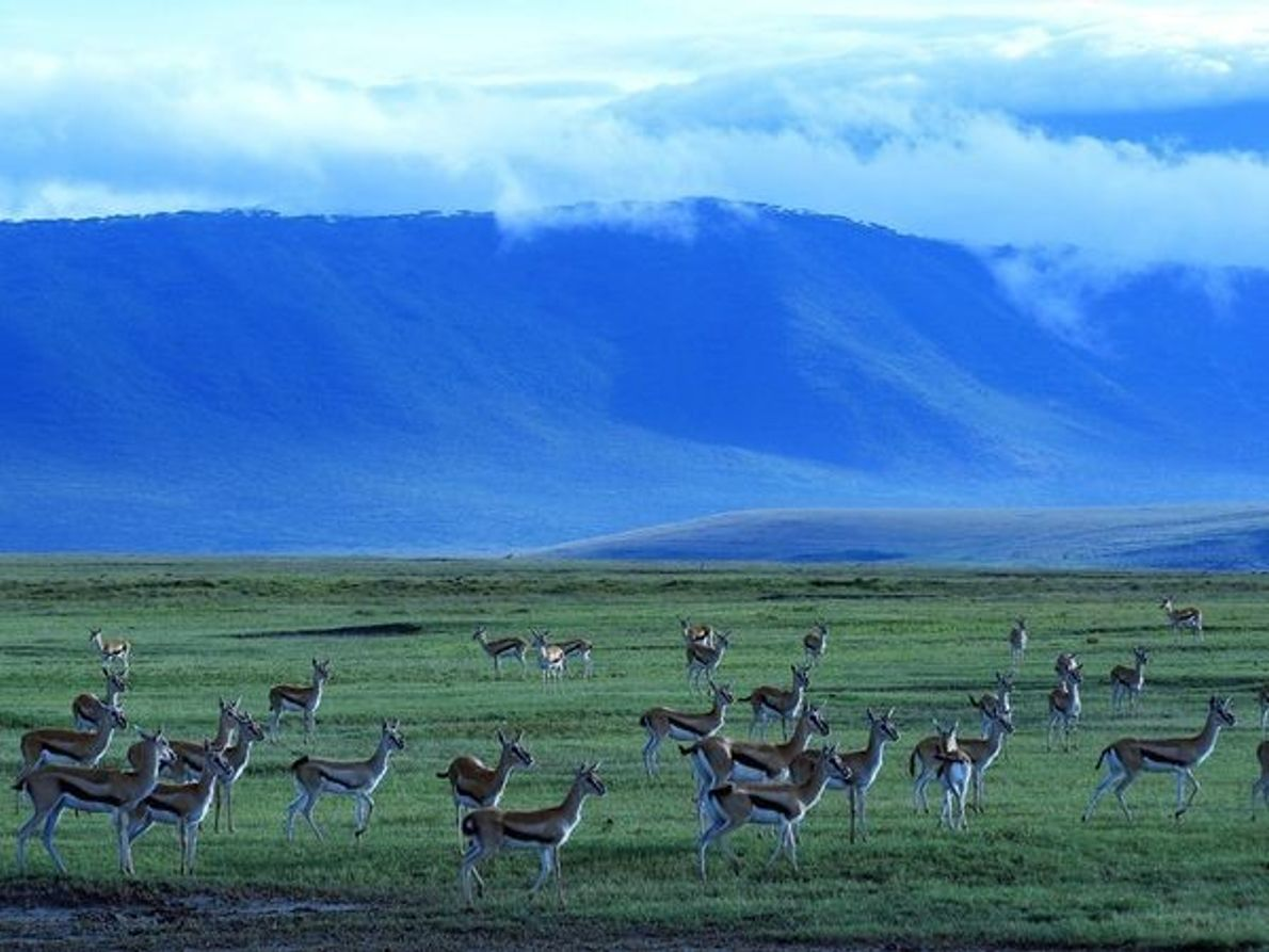 Gacelas, Cráter de Ngorongoro