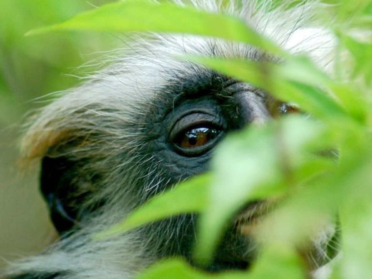 Mono colobo