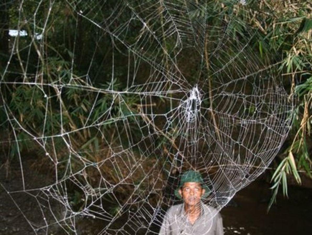 Araña de corteza  Darwin
