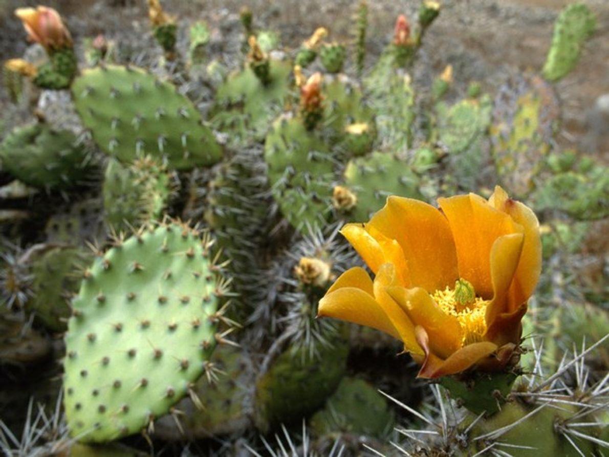 Cactus de pera espinoso