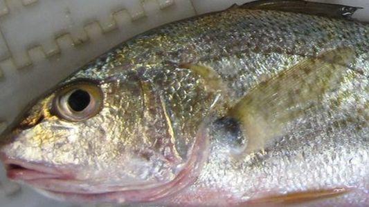 """Los peces hembra de la """"zona muerta"""" del Golfo de México desarrollan testículos"""