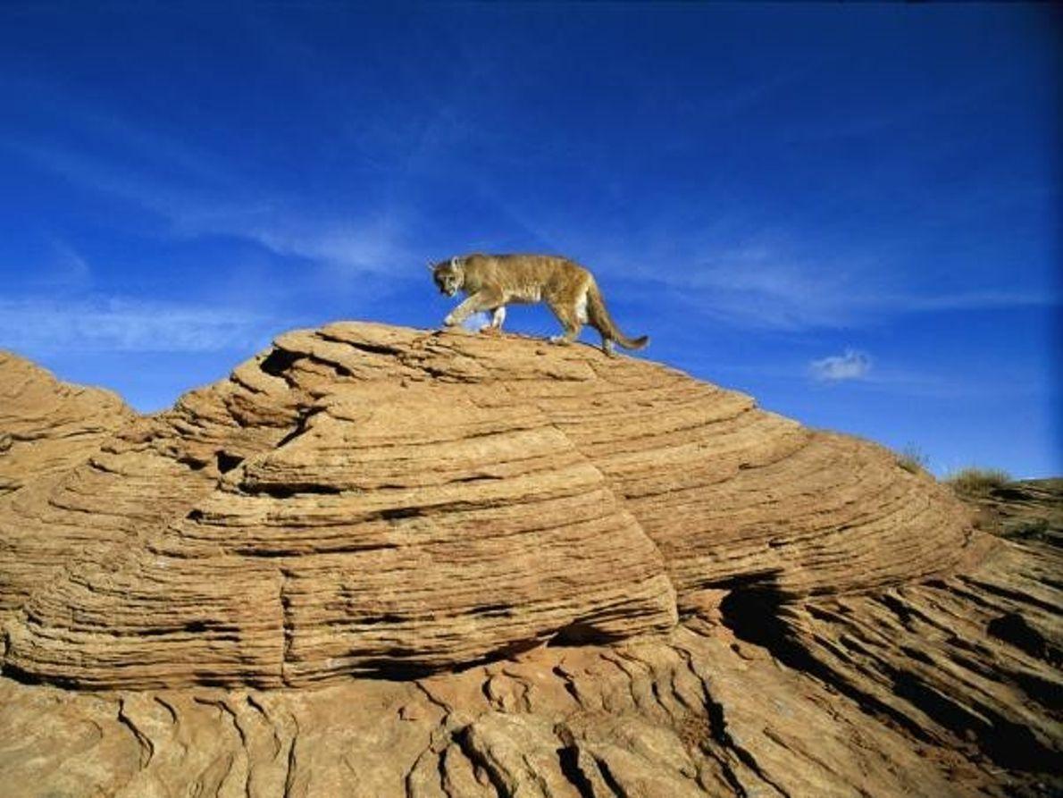 Puma en la montaña