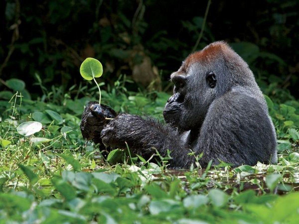 Gorila de espalda plateada, África