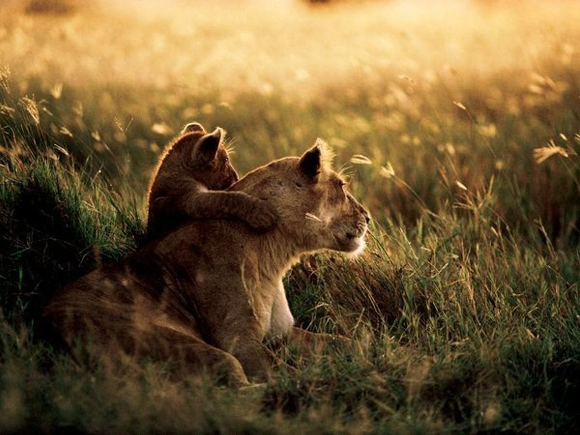 Leona africana y su cachorro, Tanzania