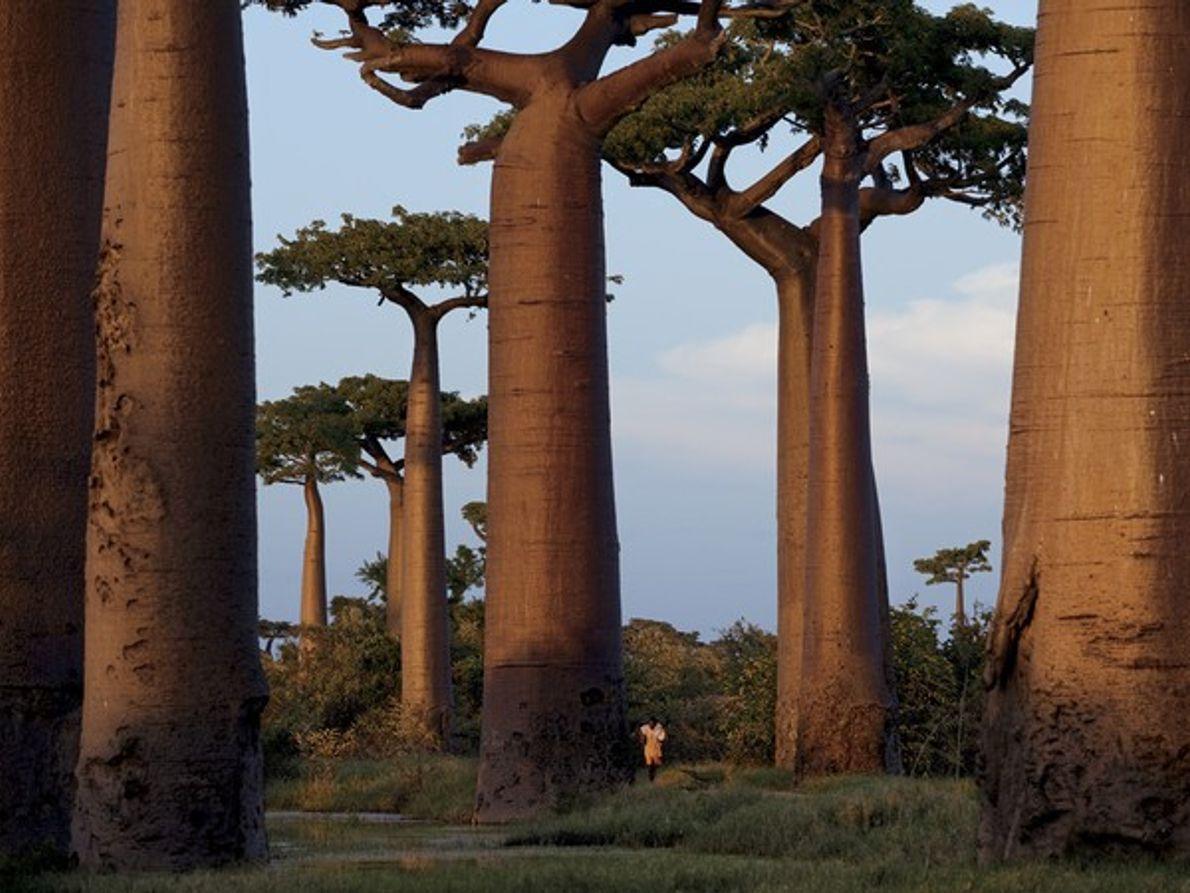 Los árboles baobab, Madagascar