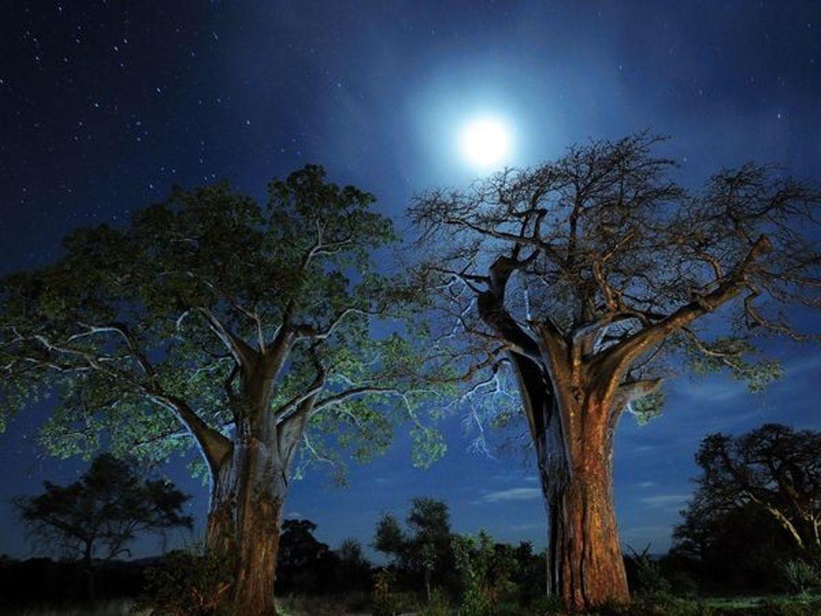 Los árboles baobab, Tanzania