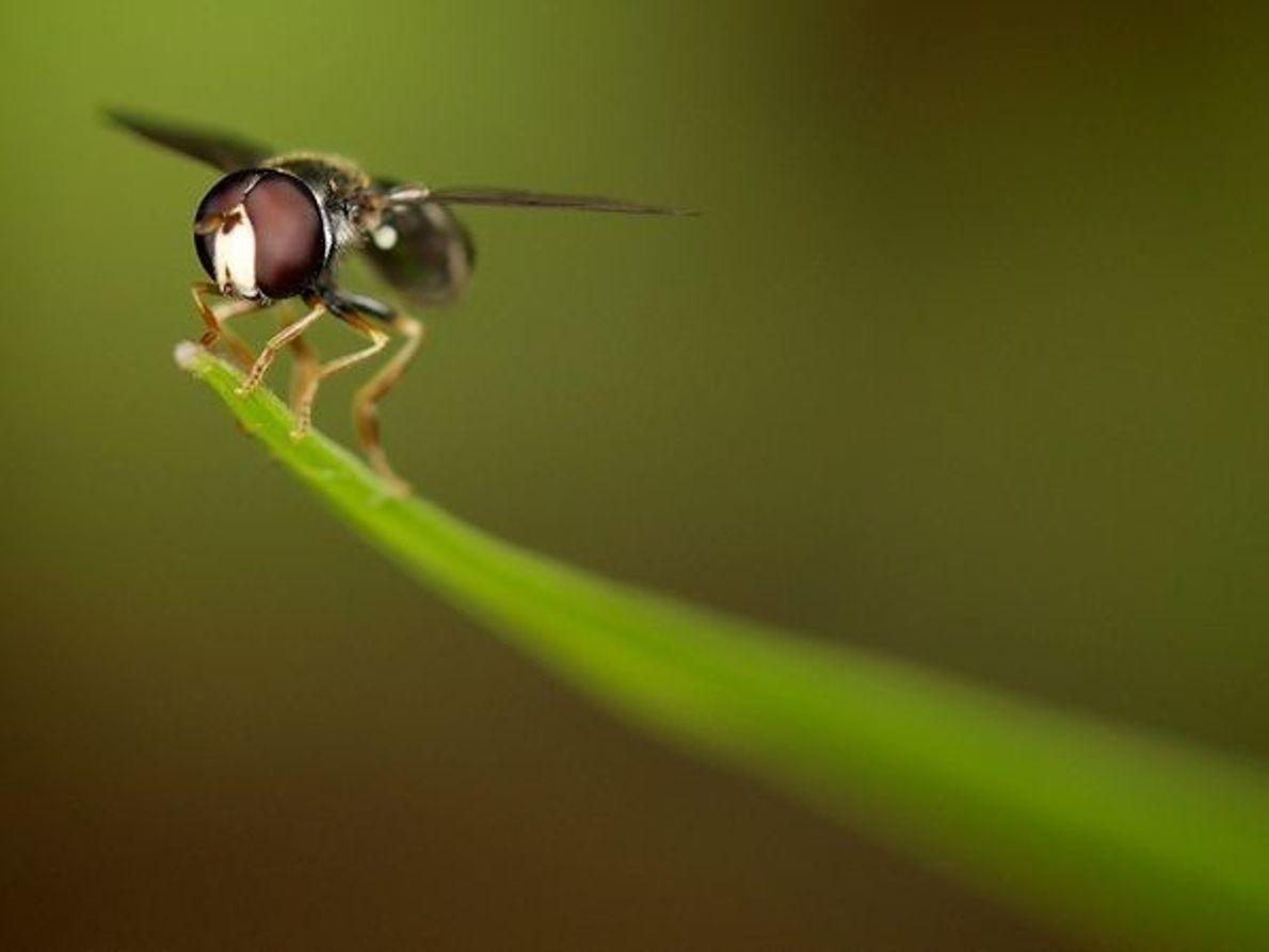 Insectos con alas, Singapur