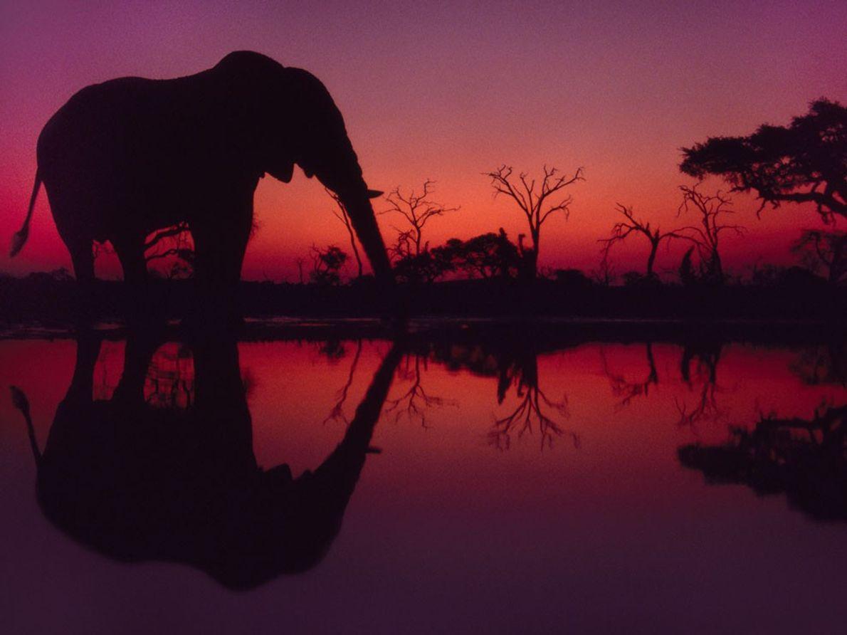 Elefante Africano, Botswana