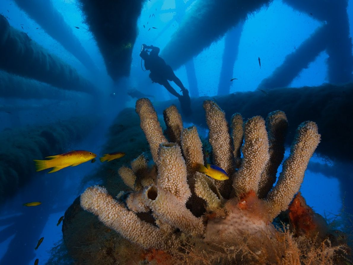 Esponja Tubular, Golfo de México