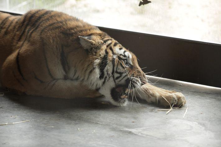 Tigres rescate Alicante