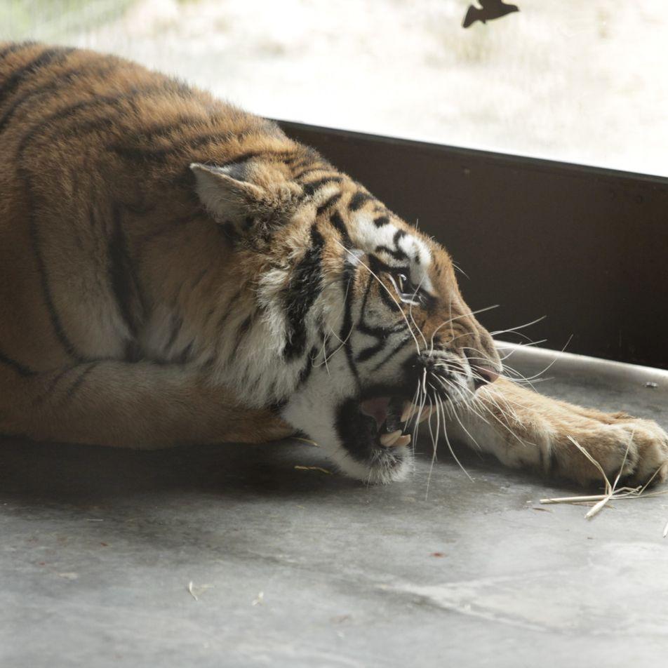 Cinco tigres rescatados de un circo tras ser retenidos en la frontera de Bielorrusia llegan a ...