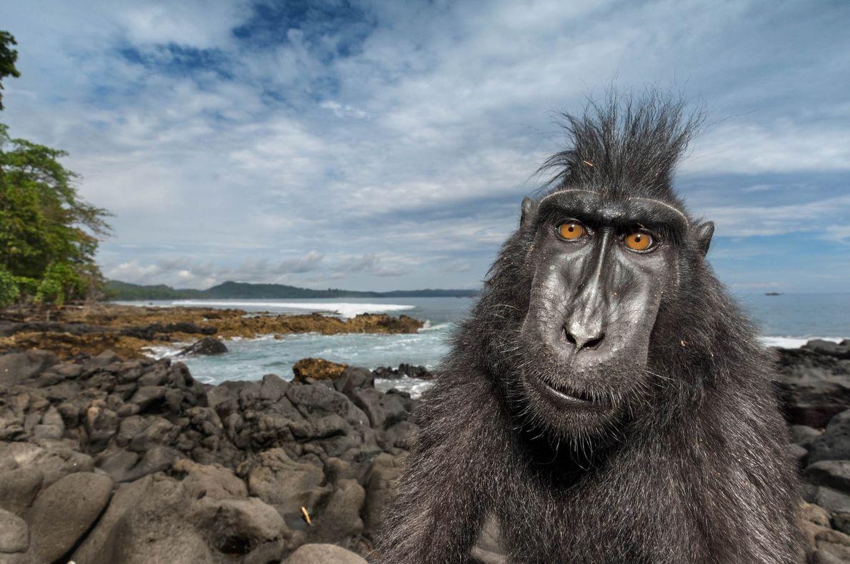 Un macaco negro crestado en la playa de una reserva natural de Célebes. Mediante el estudio …