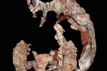 'Waluchelys Cavitesta' se sitúa entre las especies de tortuga más primitivas conocidas hasta la fecha.