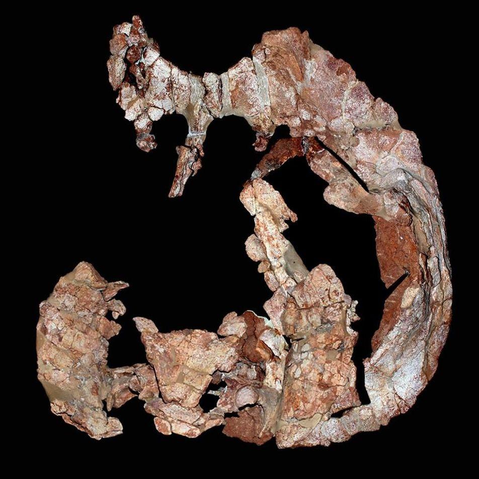 Descubren una nueva especie de tortuga de 205 millones de años de antigüedad