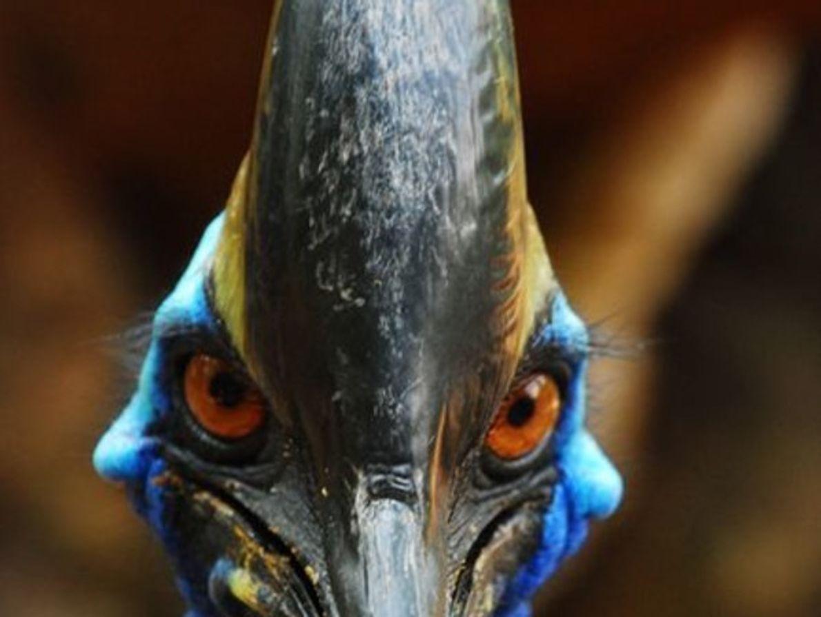 El casuario tiene una mirada intimidante. Estas aves naturales de Australia es la segunda ave más …