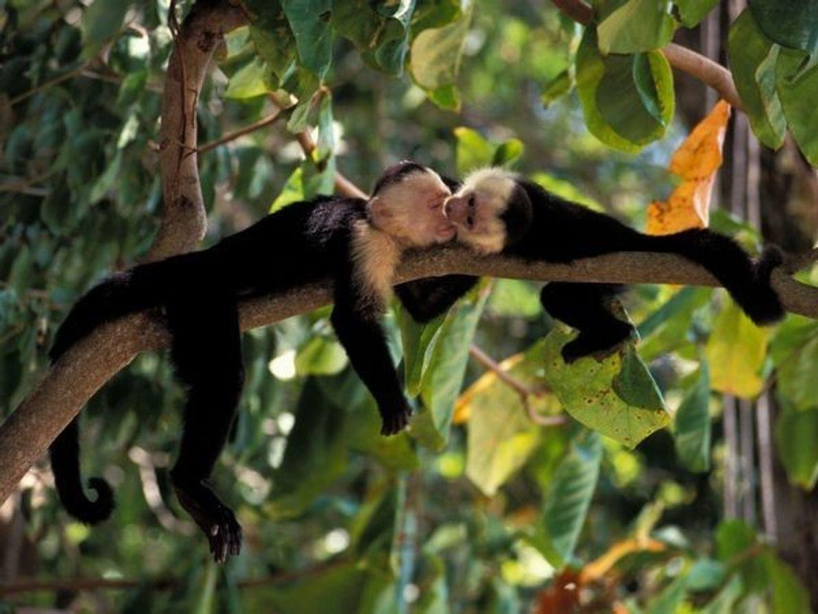 Bebés monos capuchinos de cara blanca juegan en un bosque tropical de Costa Rica. Muchas de …