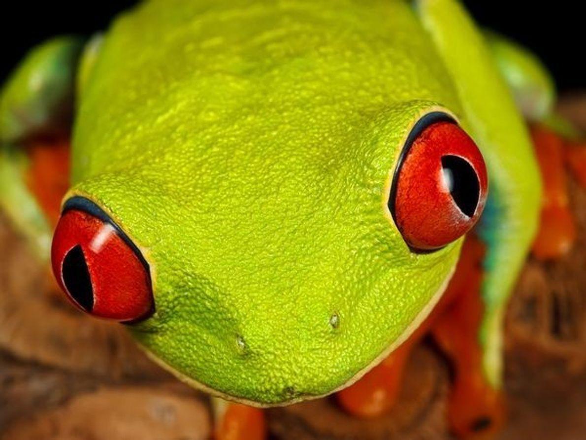 La rana arbórea de ojos rojos es un icono de la selva tropical de América Central. …