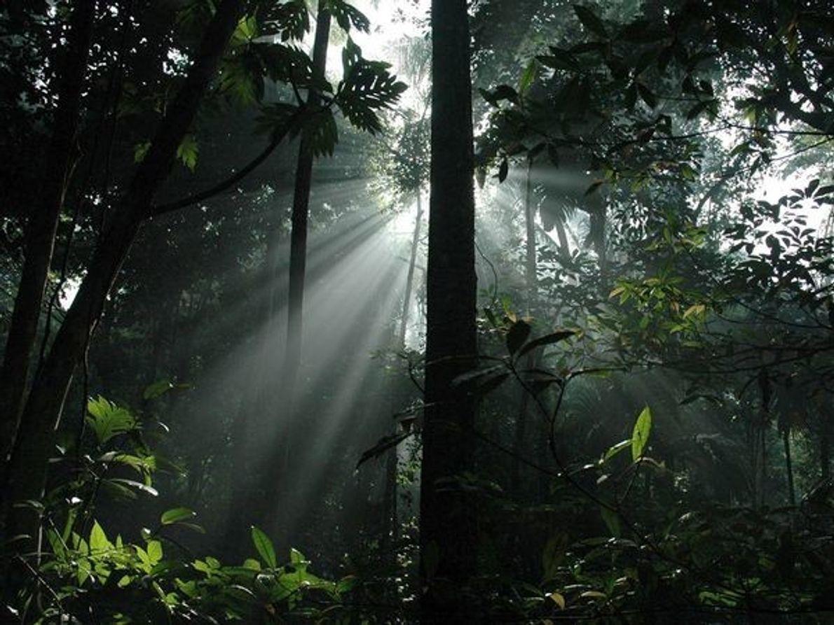 Los rayos de sol penetran en el dosel de un bosque tropical de Indonesia en la …