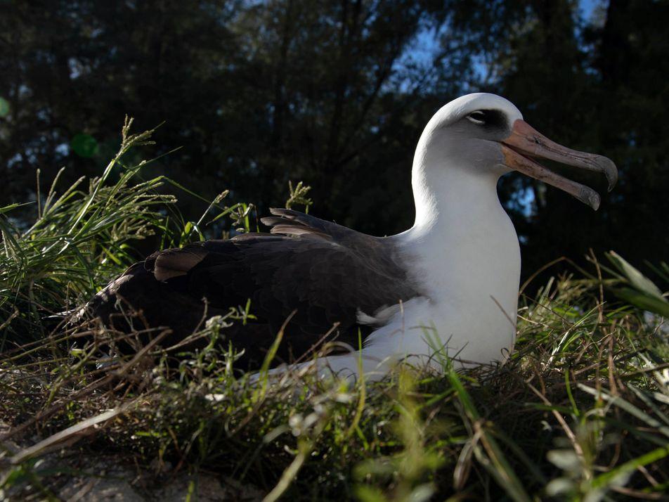 Wisdom, el ave salvaje más longeva del mundo, cumple 70 años