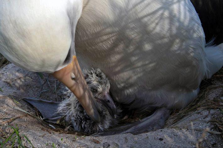 Fotografía del último polluelo de Wisdom