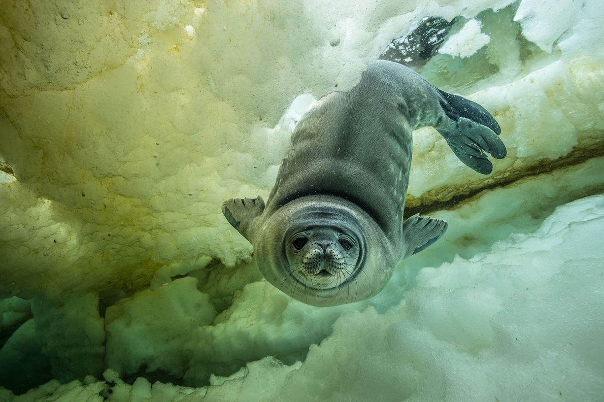 Una foca de Weddell