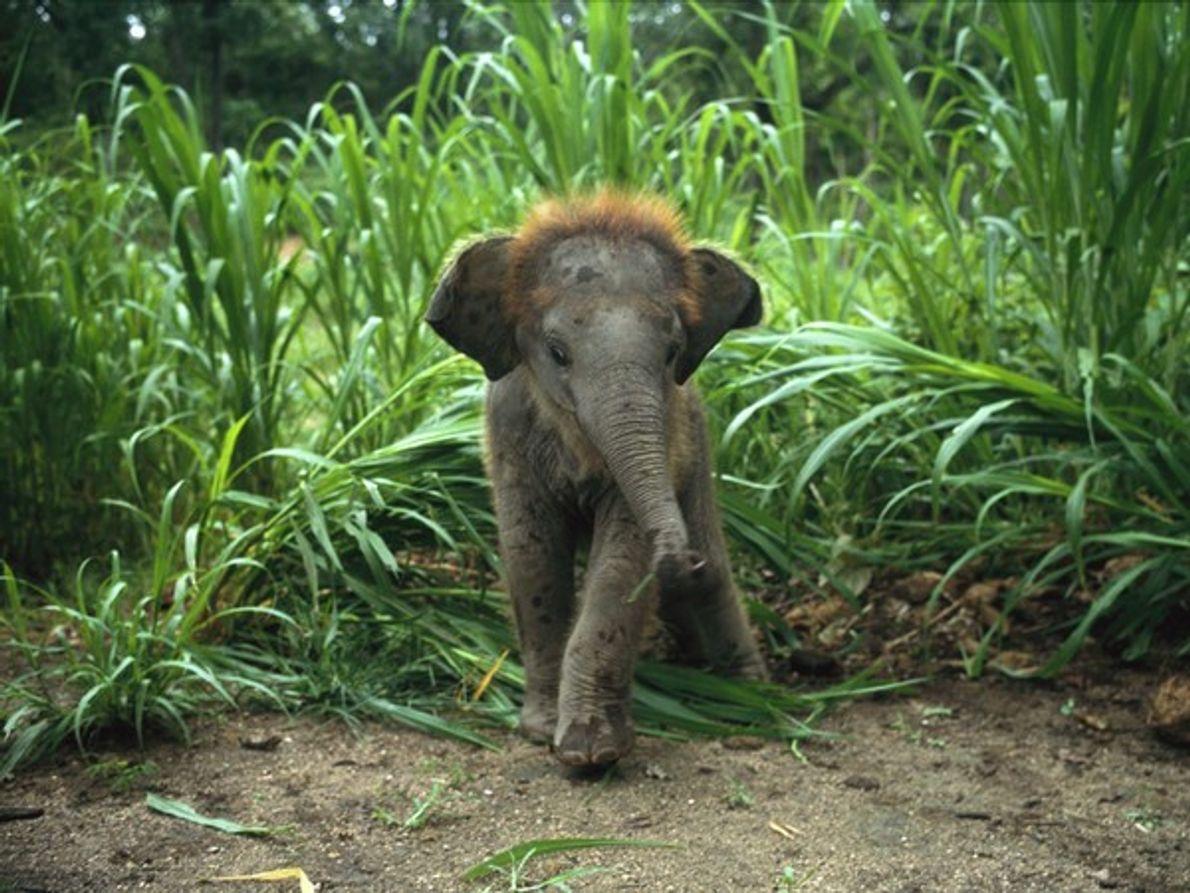 Cría de elefante asiático en hierbas altas