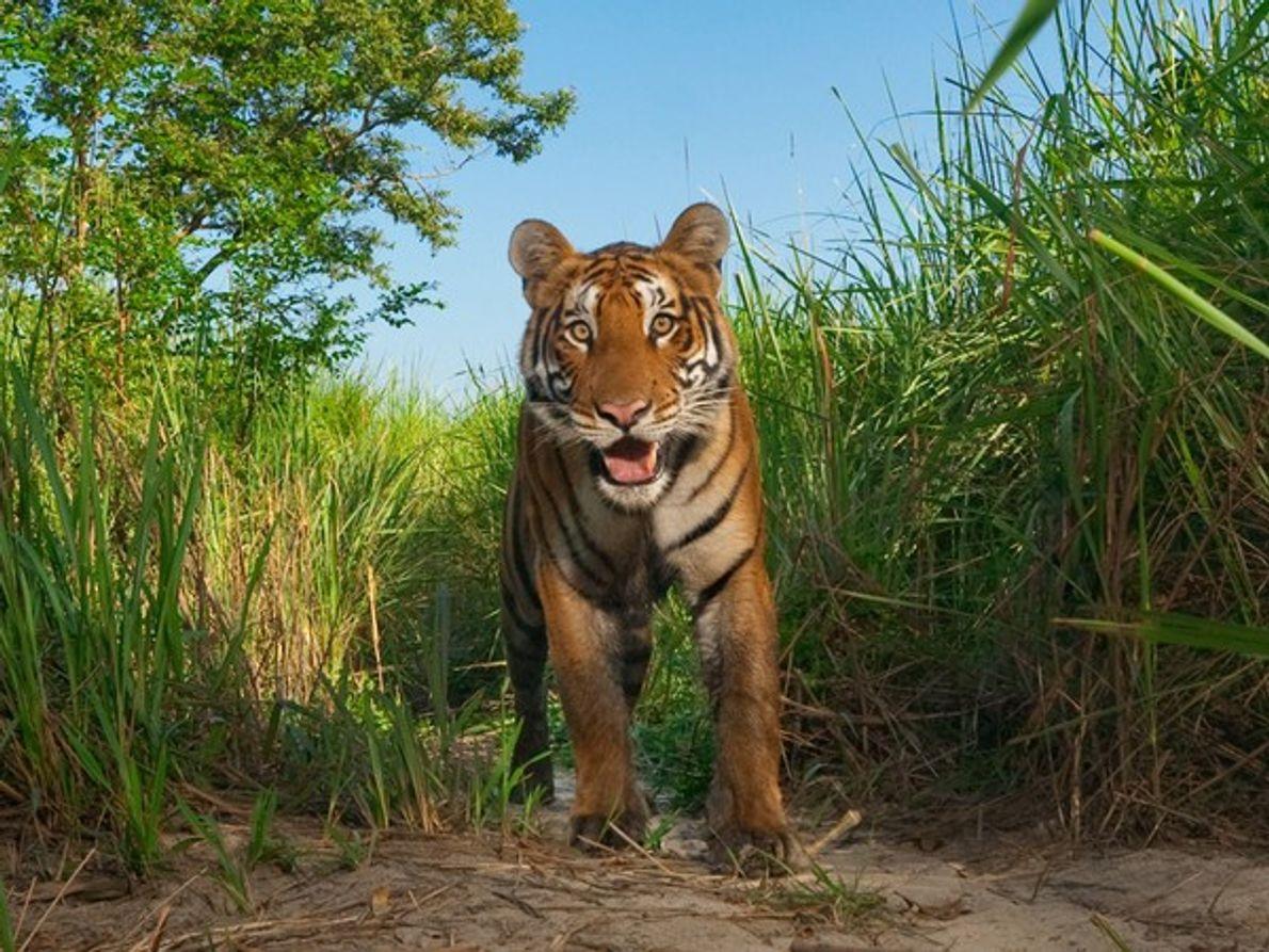 Tigre en la hierba