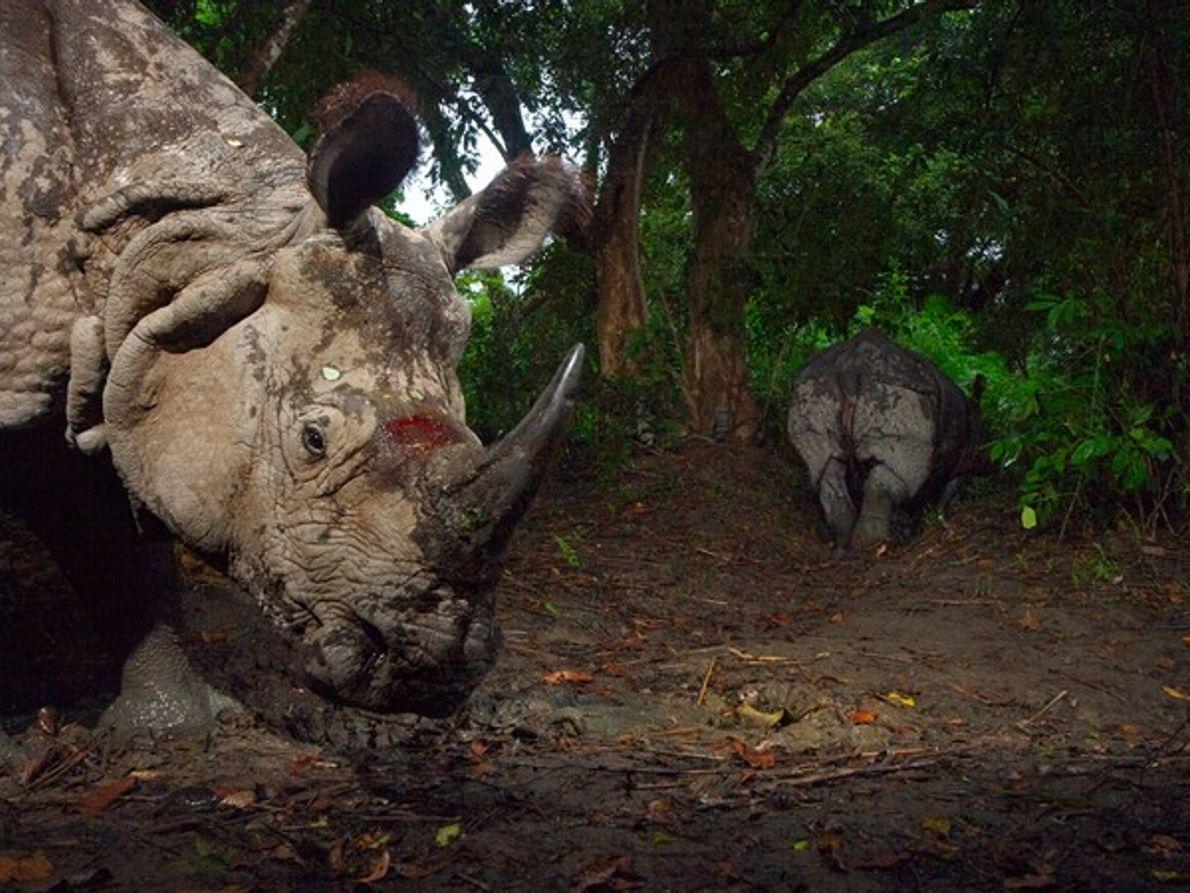 Rinocerontes  heridos