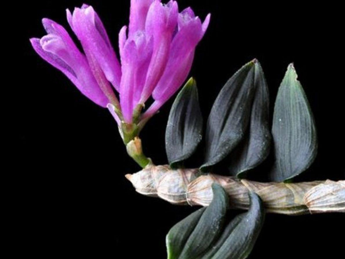 Orquídea magnífica
