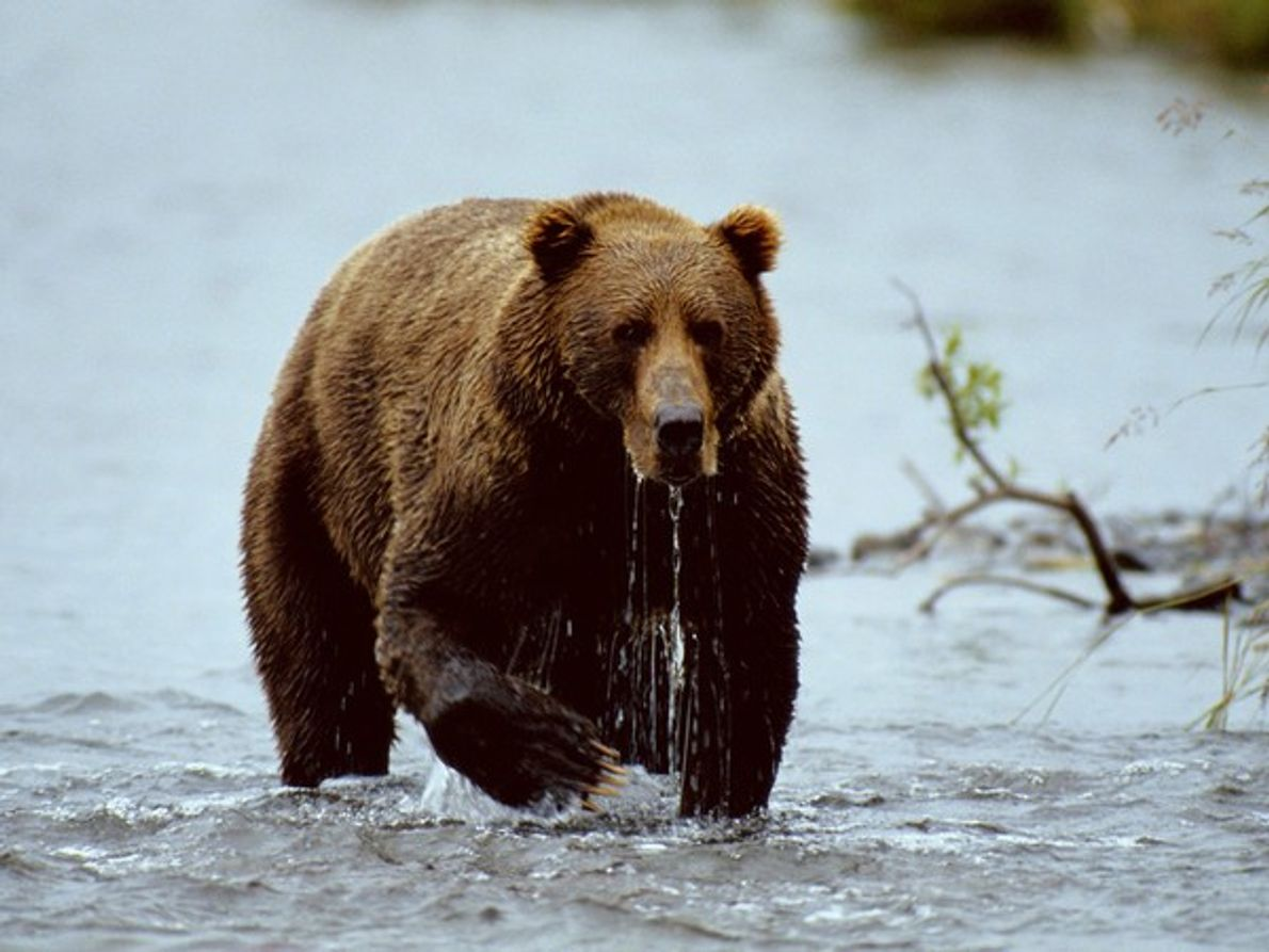 Un oso pardo pesca en el Refugio Nacional de Vida Silvestre de Kodiak, en una isla …