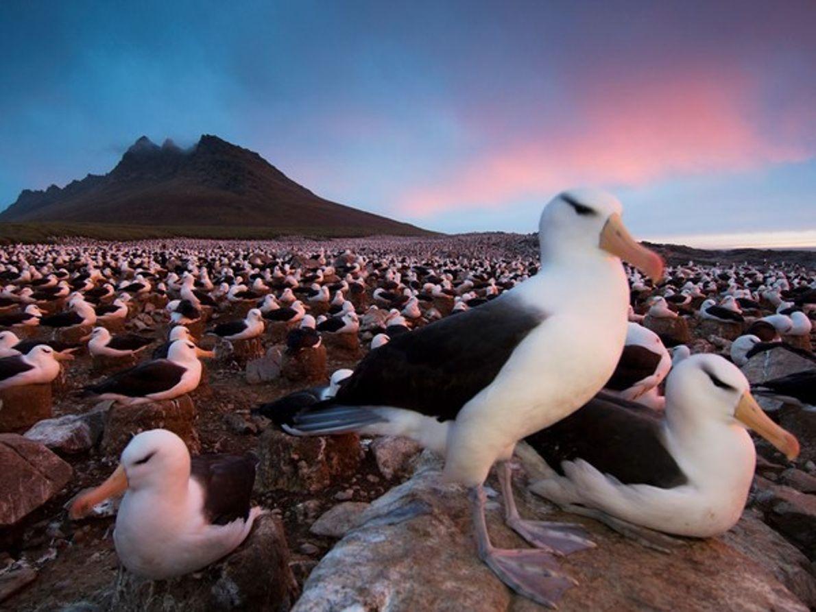 Albatros negro, Islas Malvinas