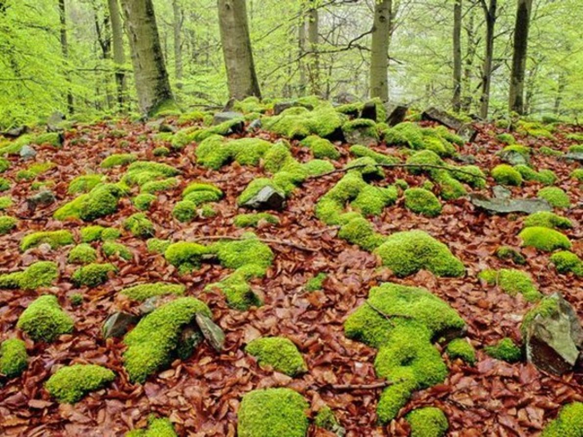 En expansión: Antiguos bosques de Hayas
