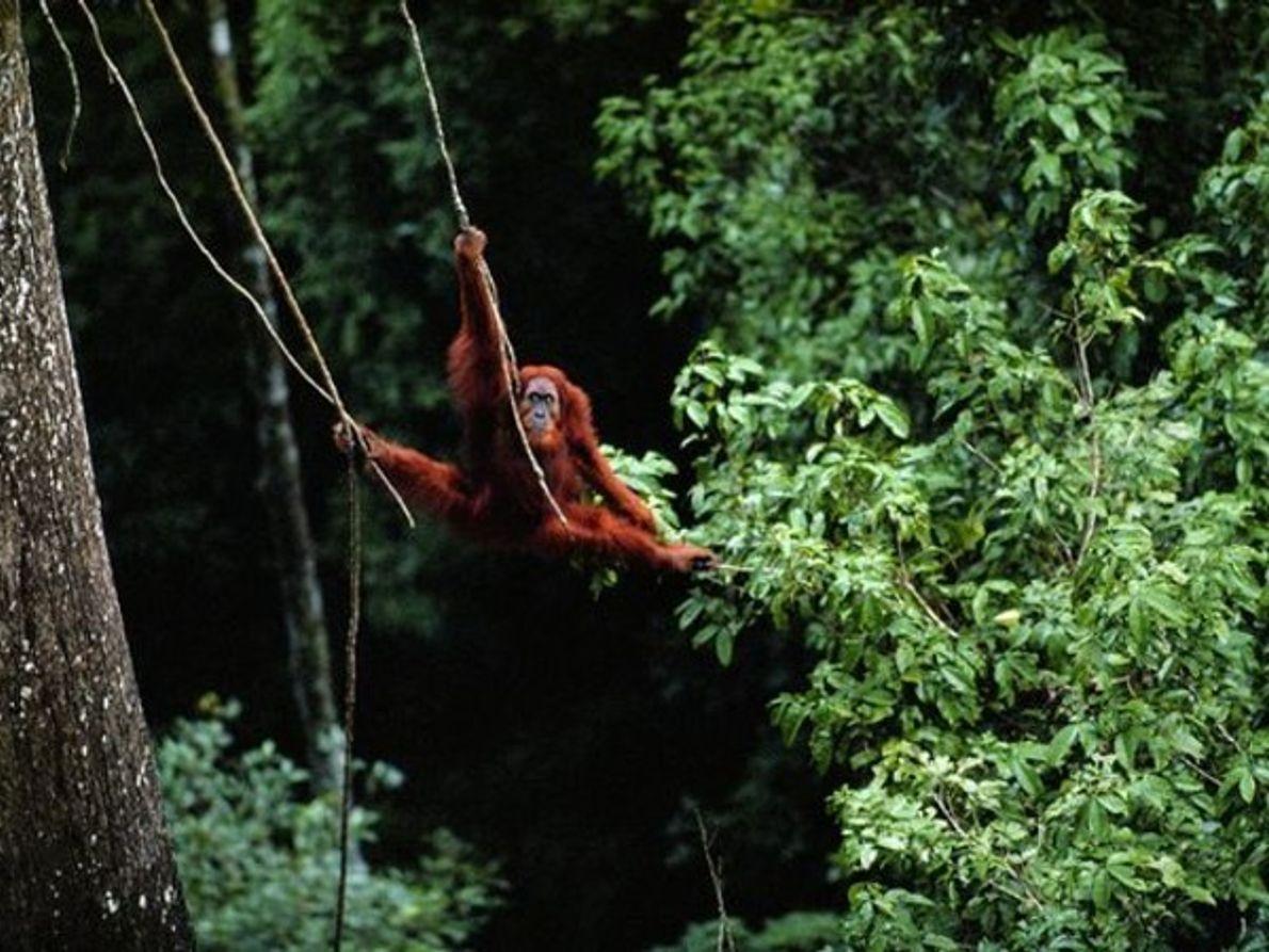 En peligro: Bosques tropicales de Sumatra